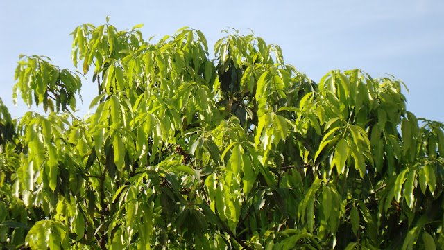 New leaves on mango tree