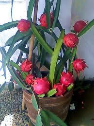 gambar buah naga dalam pot merah