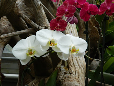 Phalaenopsis Moth Orchid hybrid at the Centennial Park Conservatory by garden muses-not another Toronto gardening blog