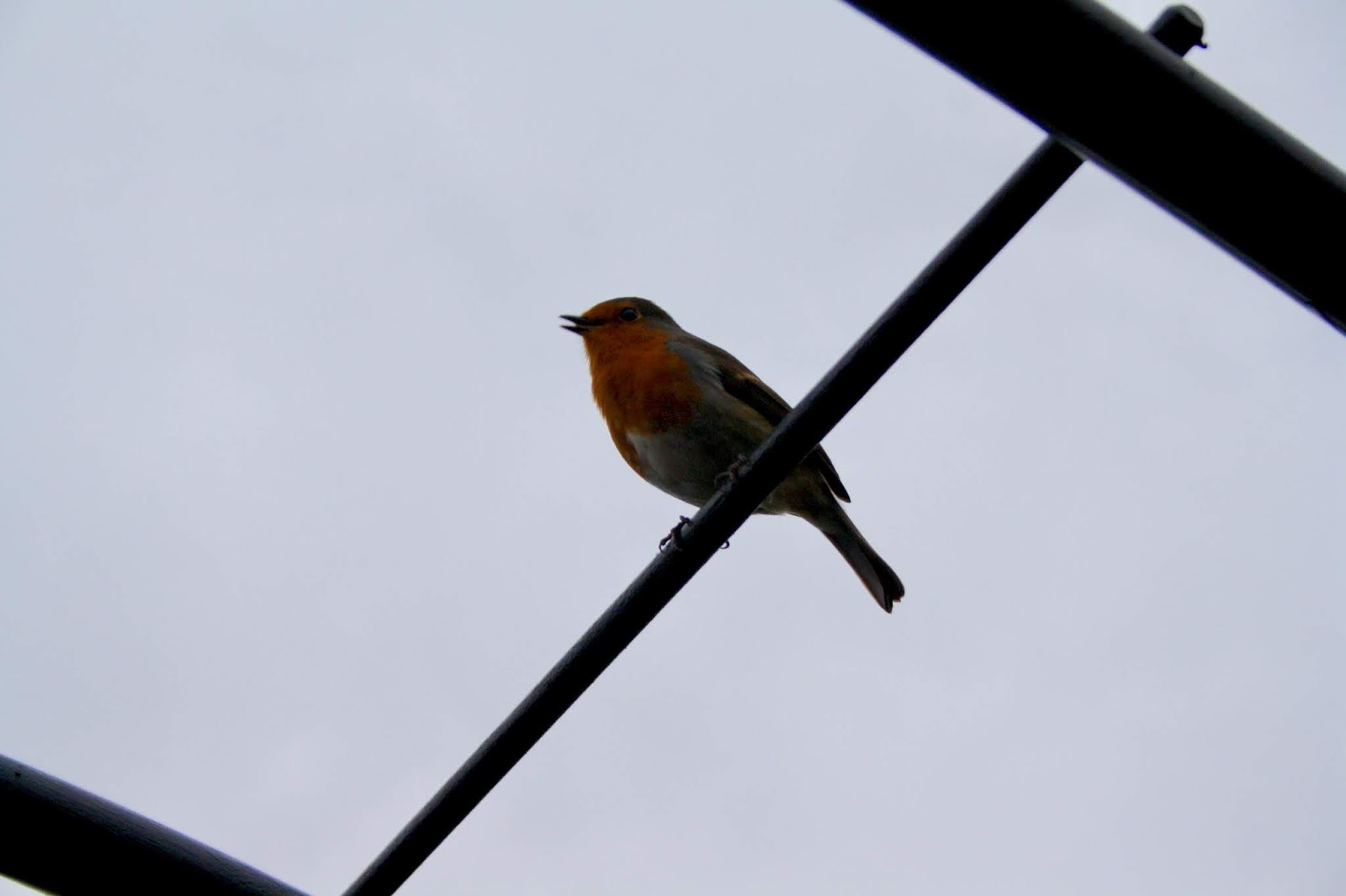 nature robin Northern Ireland Hillsborough Castle gardens