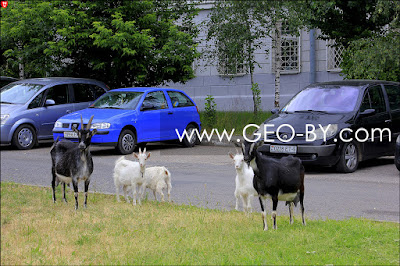 A goat family in the center of the two-million city of Minsk