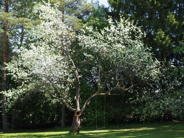 vanhan pihan omenapuu