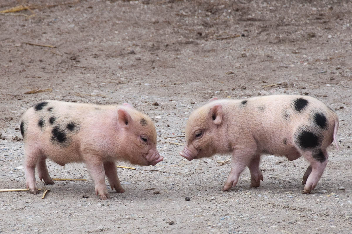 Two little piglets, Parco Faunistico Cappeller, Nove, Veneto, Italy