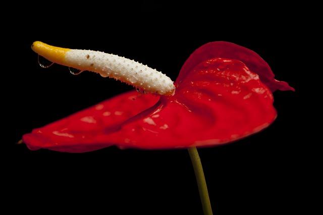 hoa hồng môn đỏ