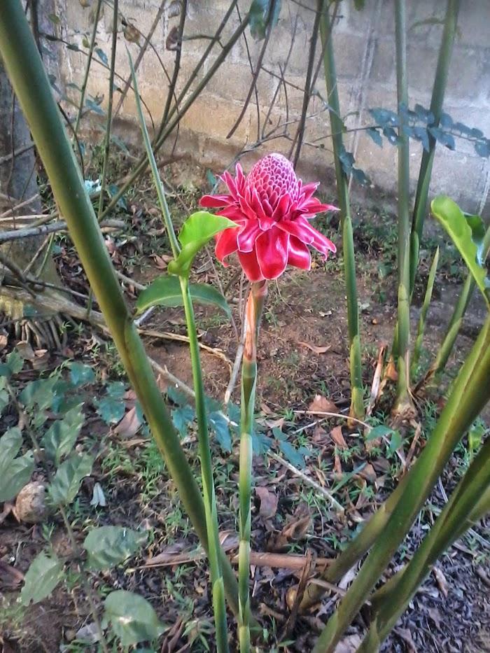 Wild ginger or Goda manel or Land Lily