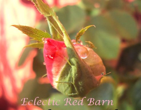 Variegated Pink Rose Bud