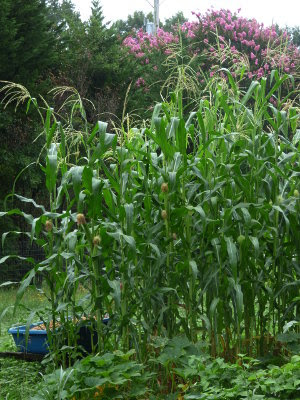 Small patch of Truckers Favorite corn in the garden.