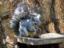 Miss Sunni, a Grey Squirrel