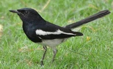 5 Tips Dan Cara Akurat Menjinakan Burung Kacer Tangkapan Hutan Supaya Gacor