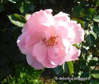 rosa bonica 82 nel giardino della fattoria didattica a Savigno Valsamoggia Bologna in Appennino vicino Zocca