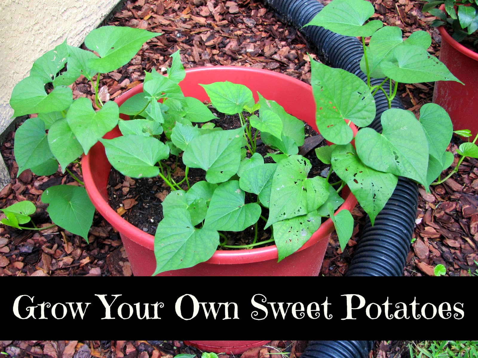 Grow Your Own Sweet Potatoes!