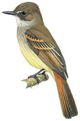 Flammulated Flycatcher