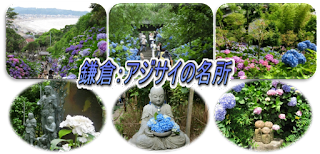 鎌倉:アジサイの名所