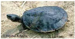 Common batagur, Four-toed terrapin, Batagur baska