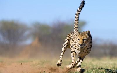 Top Most viewed Cheetah Wallpaper