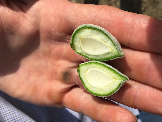 unripe almond