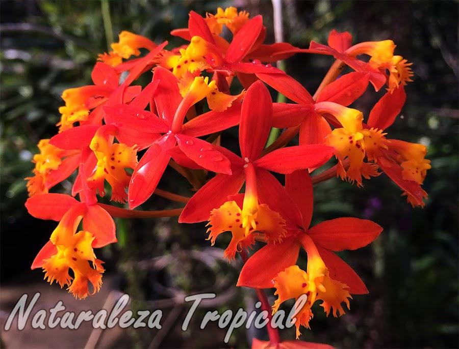 Orquídea terrestre florecida principalmente en épocas cálidas aunque puede florecer todo el año. Epidendrum radicans.