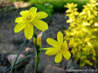Narcyz 'Baby Moon' (Narcissus 'Baby Moon')- wygląd, uprawa i pielęgnacja