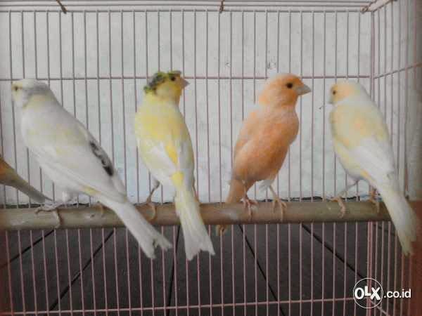 May 20, 2019· mencari informasi terkait jenis satwa harapan dan ciri cirinya. Jual Kenari Lokal Super, Harga Mulai 325rb   Burung 9