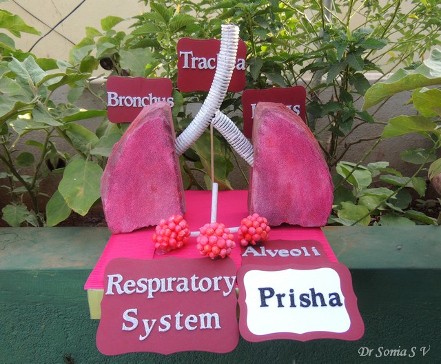 Lungs%2BModel%2B1 cards ,crafts ,kids projects making a respiratory system model !