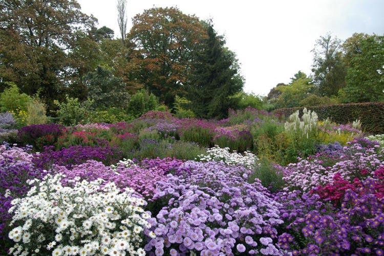 Aster novi-belgii y Aster novae-angliae borders Foto The Picton Garden