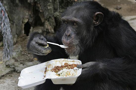 Chimpanzé Comendo Marmita