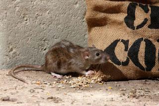 Roof Rats in Attic