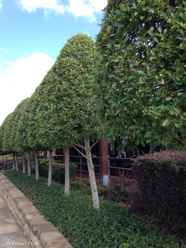 french-style-topiary-trees