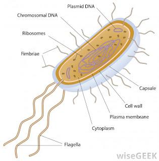 bagian-bagian organisme prokariotik