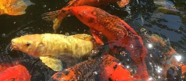 Gambar Ikan Mas Koi Hitam Putih dari Lokal Terbaik&Termahal