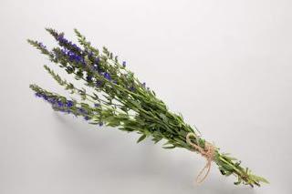 planta de hisopo