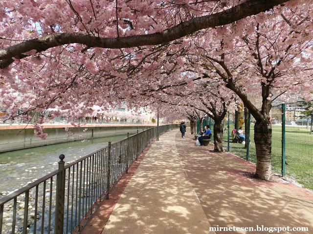 Цветущая вишня в Андорре-ла-Велье