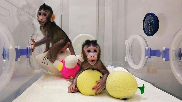 Sejarah Baru : Monyet Hasil Kloning Berhasil Dilahirkan