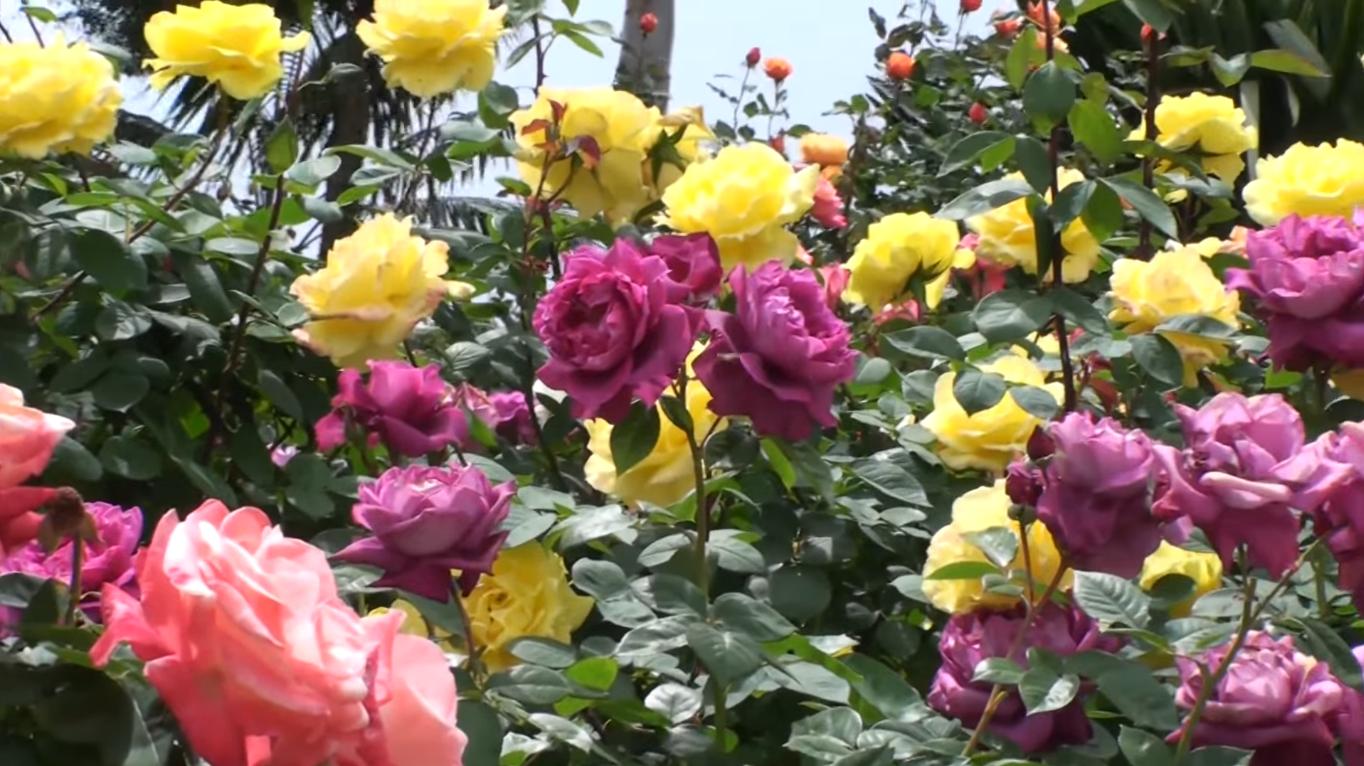 Cara Menanam Bunga Mawar Agar Cepat Berbunga Guyub Tani