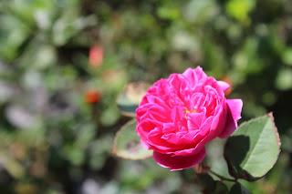 wisata basecamp mawar
