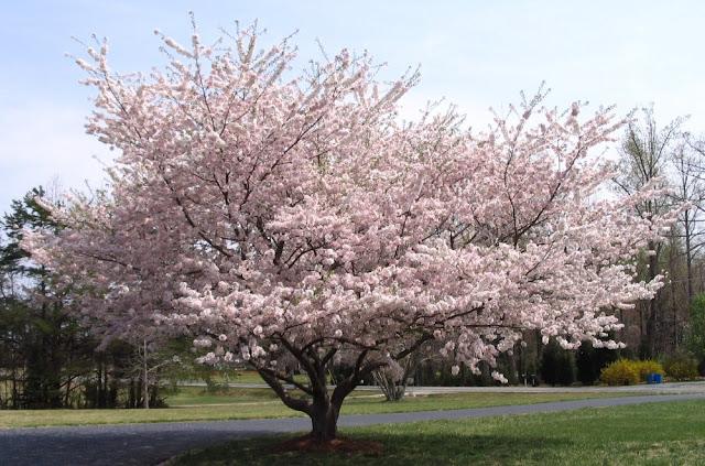 مهرجان شجرة اللوز