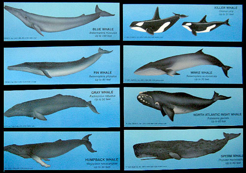 the extinction of fin whale essay Conservation of threatened animals and endangered species sustainable management of their forests  the fin whale, the second largest living mammal.