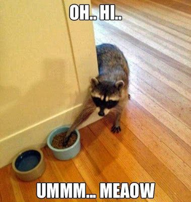 Funny Raccoon Stealing Cat Food