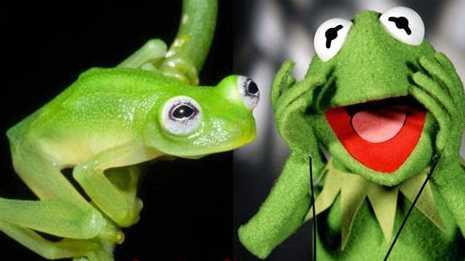 Aneh Katak Bertubuh Transparan Mirip Boneka Kermit