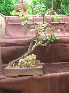 bougainvillea side-table bonsai