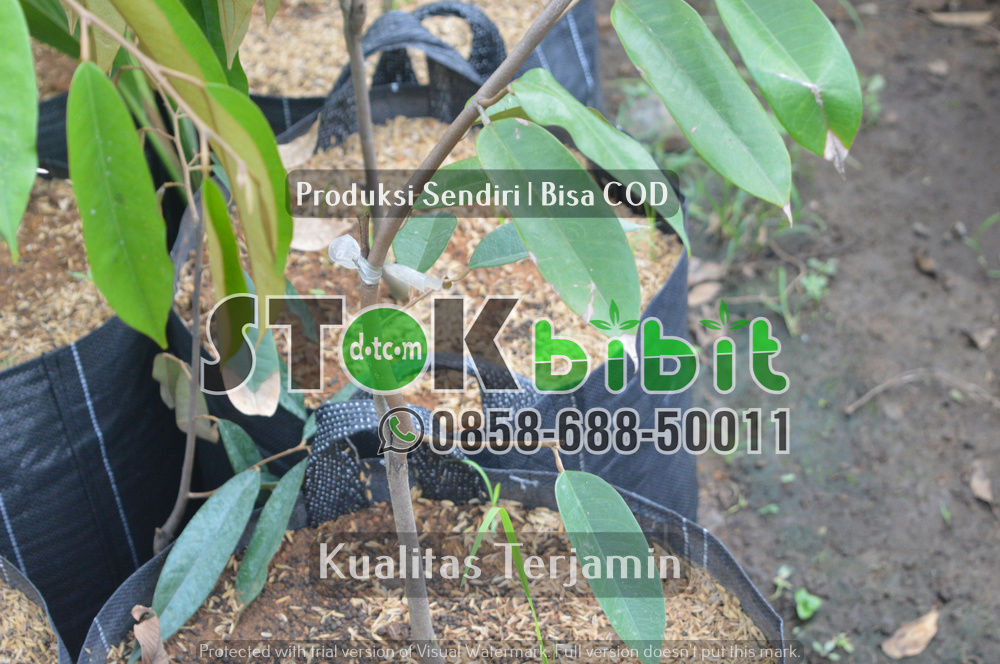 Bibit jeruk siam bersertifikat untuk sulawesi    Grosir     Unggul