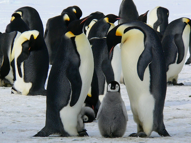 Image: Emperor Penguins, by Siggy Nowak on Pixabay