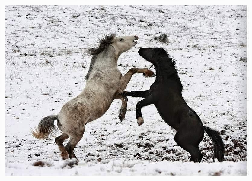 Imagen dos caballos peleando