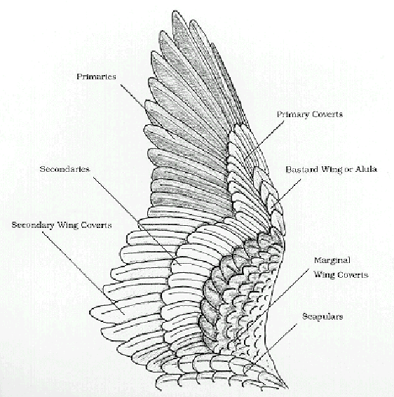 birds of a feather update wing anatomy and joints. Black Bedroom Furniture Sets. Home Design Ideas