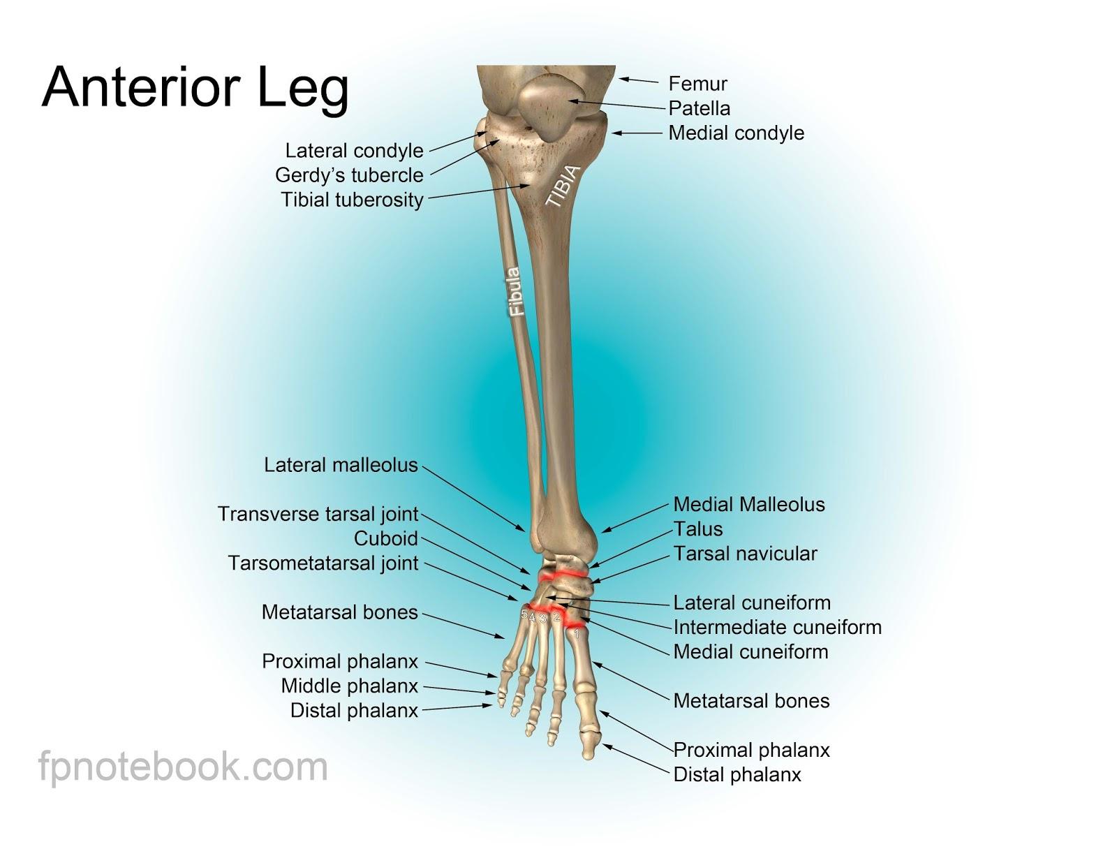 Human Leg Bone Structure - Human Anatomy Details