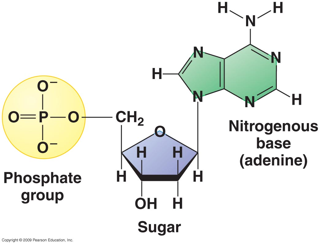 small resolution of  and one of five nitrogenous bases adenine thymine uracil guanine and cytosine dna and rna differ in that dna contains the sugar deoxyribose