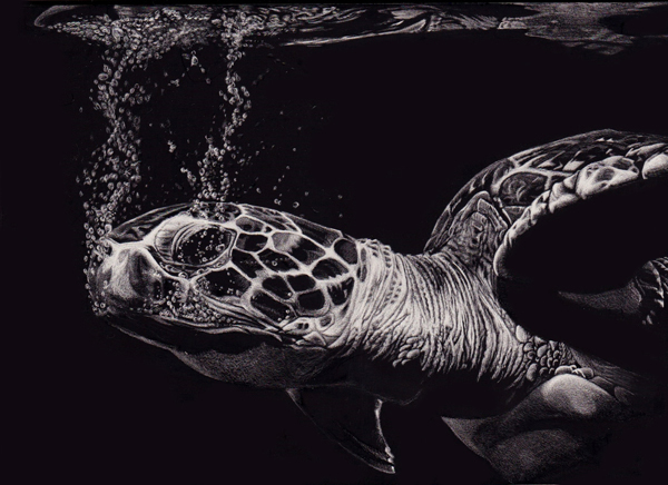 07-Sea-Turtle-Allan-Ace-Adams-Scratchboard-Drawings-of-Wild-Animals-www-designstack-co