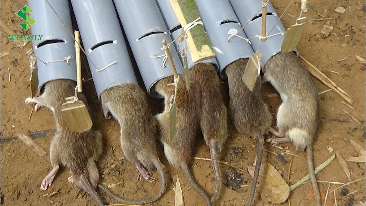 rat traps made from scraps at no cost! - worlds healthiest resorts