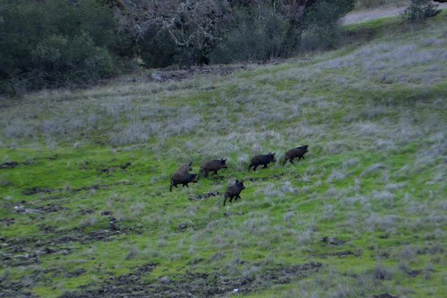 wild hogs running off