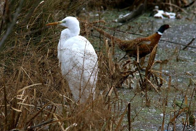 Great heron and pheasant